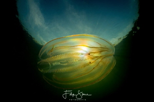 American comb jelly fish(Mnemiopsis leidy, lake Greveling... by Filip Staes