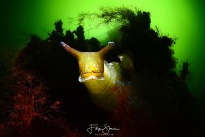 Sap-sucking slug (Elysia viridis), lake Grevelingen, the ... by Filip Staes