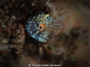 Roughhead Blenny, Acanthemblemaria aspera, Blue Heron Bri... by Pauline Walsh Jacobson