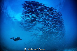 Barracudas and diver by Mehmet Emre