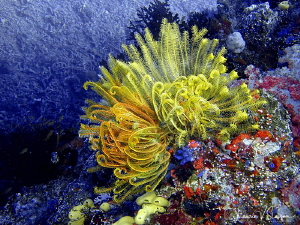 Yellow Crinoids/Photographed at Wananavu, Fiji. by Laurie Slawson
