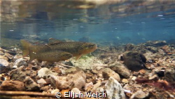 Spawning Brown Trout by Elijah Welch
