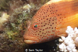 Portrait of a Blackspot hawkfish. Nikon D-70 w 60mm lens, by Sam Taylor