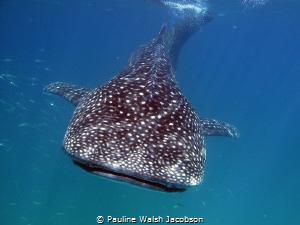 Whale Shark, Rhincodon typus, Isla Holbox, Mexico by Pauline Walsh Jacobson