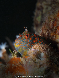 Tessellated Blenny, Hypsoblennius invemar, Lauderdale-by-... by Pauline Walsh Jacobson