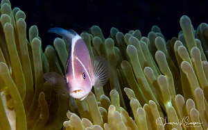 Pink Anemonefish With Mouth Parasite/Photographed with Ca... by Laurie Slawson