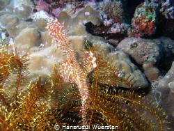 Harlequin (Ornate) Ghostpipefish - Solenostomus paradoxus by Hansruedi Wuersten