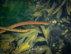Sea needle! very rare in the dutch waters (Adderzeenaald)... by Eduard Bello