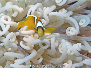 Juvenile Red Sea Clownfish, Amphiprion bicinctus by Pauline Walsh Jacobson