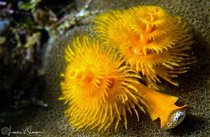 Christmas Tree Worms/Photographed with a Canon 60 mm macr... by Laurie Slawson