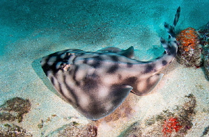 Guitarfish/Photographed with a Tokina 10-17 mm fisheye le... by Laurie Slawson