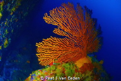 Palmate sea fan at a newly discovered dive site in the mi... by Peet J Van Eeden