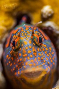 Blenny close up, Tamiahua Mexico by Alejandro Topete