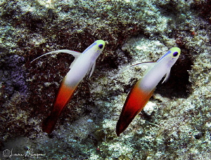 Fire Dartfish/Photographed at Bora Bora. by Laurie Slawson