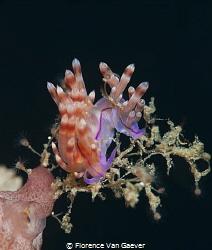 Redline Flabellina mating by Florence Van Gaever