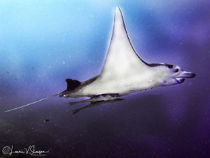 Giant Manta Ray at Bora Bora by Laurie Slawson