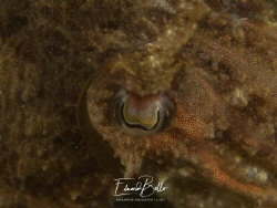 Sea at, cuttle fish, sepia, sepia officianalis. Awesome eyes by Eduard Bello
