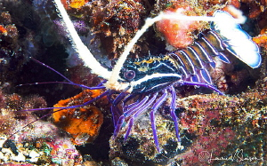Juvenile Spiny Painted Lobster/Photographed with a Canon ... by Laurie Slawson