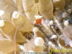 Mushroom Coral Shrimp - Cuapetes kororensis by Hansruedi Wuersten