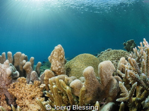 Healthy coral reefs like this one are becoming less commo... by Joerg Blessing