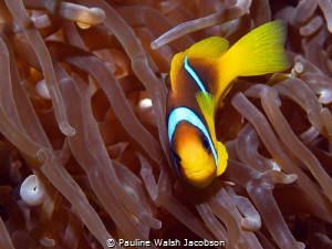 Red Sea Clownfish, Amphiprion bicinctus by Pauline Walsh Jacobson