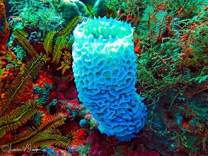 Azure sponge/Photographed on a fast drift dive at The Pit... by Laurie Slawson