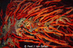 Strangled