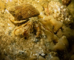 Roll lobster, Heremietkreeftje, pagurus bernhardus by Eduard Bello