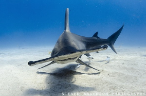 Hammer Time at Tiger Beach - Bahamas by Steven Anderson