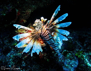 Lionfish/Photographed at Costa Maya, Mexico by Laurie Slawson