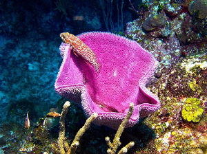 Sponge With Fish/Photographed at Costa Maya, Mexico. by Laurie Slawson