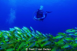 In which direction do these blue banded snappers really w... by Peet J Van Eeden