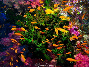 Anthias/Photographed at Wananavu, Fiji by Laurie Slawson