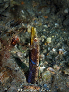Blue Throat Pikeblenny, Chaenopsis ocellata, Male Territo... by Pauline Walsh Jacobson