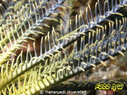 Pointed Snout Crinoid Shrimp - Brucecaris tenuis by Hansruedi Wuersten