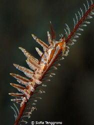 Eubranchus sp. - Kissing the Rain by Sofia Tenggrono