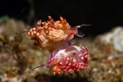 Mating Nudibranch, Anilao, Philippines. D7200, Ikelite ho... by Ted Timmons