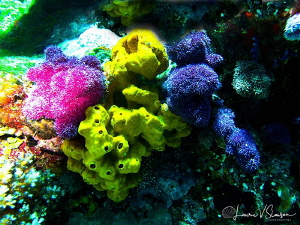 Multicolor Corals at Wananavu, Fiji by Laurie Slawson