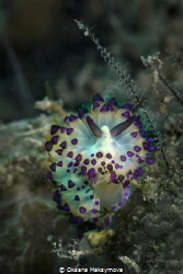 Nudibranch Janolus sp. 