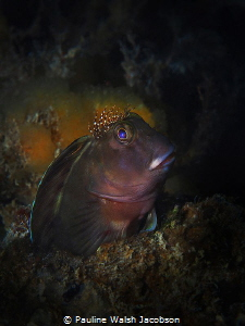 Molly Miller Blenny, Scartella cristata, Jupiter, Florida by Pauline Walsh Jacobson