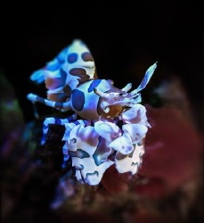 The Harlequin Shrimp sits on a stone. by Sergey Lisitsyn
