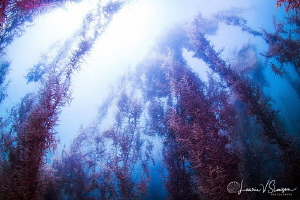 Sargasso at San Nicolas/Photographed with a Tokina 10-17 ... by Laurie Slawson