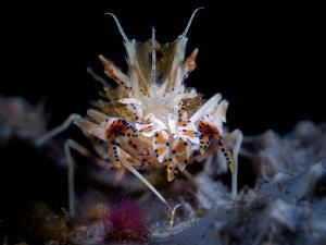 Tiger Shrimp,Tulamben,Bali,WonderDiveBali by Aleksandr Marinicev