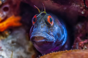 Blenny in the sponge, Plataforma Tiburon México by Alejandro Topete