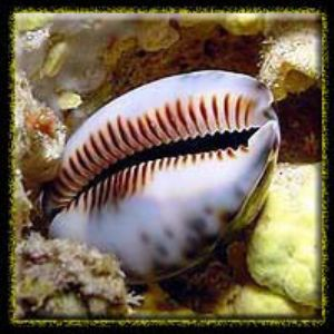 Cowrie on wall- Marianas by M. Dalsaso