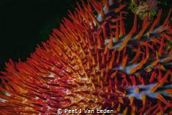 Crown of thorns-beautiful but destructive by Peet J Van Eeden