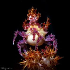 Candy Crab Hoplophrys Oatesi Tulamben,Bali by Aleksandr Marinicev