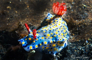 Hypselodoris infucata/Photographed with a Canon 60 mm mac... by Laurie Slawson