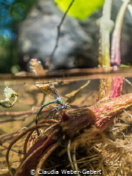 freshwater splitshot - dagon fly laying eggs. You can see... by Claudia Weber-Gebert