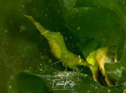 Veranderlijke steurgarnaal, palaemon serratus, changeble ... by Eduard Bello